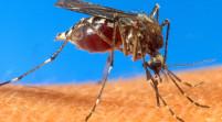 Confirman los dos primeros casos de fiebre chikunguña contraída en Florida