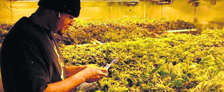 The New York Times aboga por legalizar la marihuana en Estados Unidos