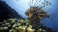 Florida le declara la guerra al invasivo pez león