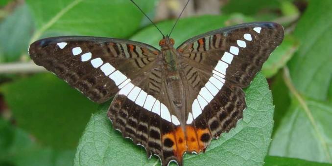 Raras mariposas de Florida son declaradas en peligro de extinción