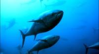 La revista Consumer Reports aconseja a las mujeres embarazadas que eviten el atún