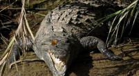 Capturan a enorme cocodrilo en Miami