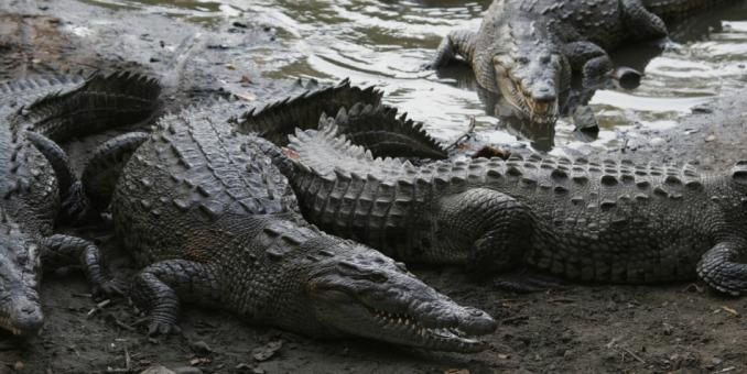 El cocodrilo de Florida ya no está en peligro