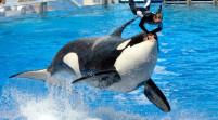 Muere beluga de 31 años en Sea World de Orlando