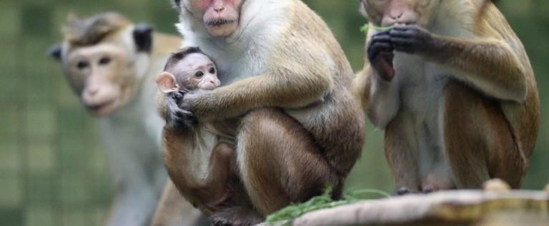 Cientos de monos amenazan con transmitir enfermedades a los puertorriqueños