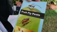 Una mosca asiática siembra el temor entre los productores de Florida