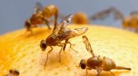 R.D. prohíbe cultivos hospederos mosca oriental procedentes Florida