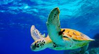Amenazadas tortugas verdes anidan en números récord en Florida