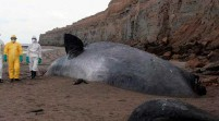 Sacrifican cachalote pigmeo varado en playa de Florida
