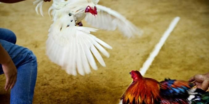 Peleas de gallos, un pasatiempo popular en Haití